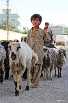 A young Afghan shepherd leads the sheep to their paddock. Kandahar, Afghanistan. I know that building behind him...