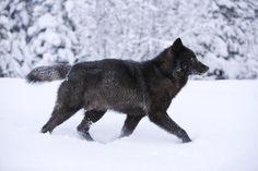 Pelaje del lobo negro