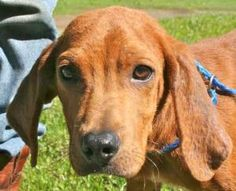 Ranger $250 16wks is an adoptable Redbone Coonhound Dog in Bradenton, FL.  16-Week-Old Male (neutered before going to my new home), approx. 15 pounds, Well Trained for His Age, Walks Very Well on a Le...http://www.petfinder.com/petdetail/26154018