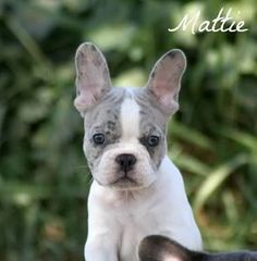 Image result for merle french bulldog