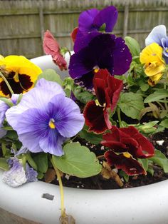 Pansy for the fall... So beautiful