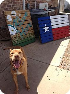 Pictures of Blaze a Pit Bull Terrier Mix for adoption in Lubbock, TX who needs a loving home.