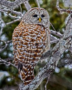 Barred owl. Just saw one today!