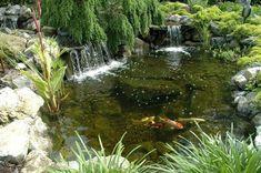 backyard koi pond tricks and tips, ponds water features, Pond Fish in Fall Backyard Water Feature, Ponds Backyard, Koi Ponds, Garden Ponds, Swimming Ponds, Backyard Waterfalls, Backyard Ideas, Garden Ideas, Pond Landscaping