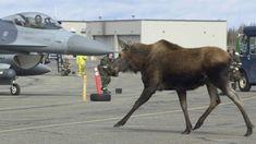 Eilson Air Force Base - North Pole, Alaska (Moose on runway)