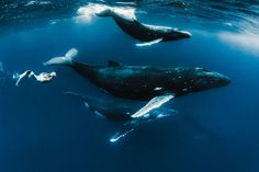Real-life mermaid Hannah Fraser swims with whales in stunning pictures