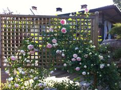 Natural landscaping ideas. Climbing roses - Pierre de Ronsard