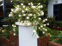 Epiphyllumm