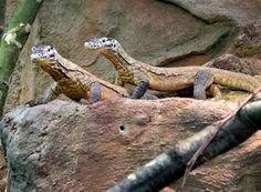 Le zoo d'Amsterdam a été le premier zoo au monde a héberger des dragons de Komodo. Après une longue absence, ils ont accueilli en 2013 deux jeunes pensionnaires