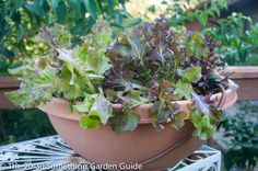 Salad bowl I grew for The 20-30 Something Garden Guide last year. | Easy vegetable seeds to sow outdoors.