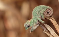 ...  some people consider that American Chameleon to be the part of chameleon species, it is actually the small lizard. Description from myinterestingfacts.com. I searched for this on bing.com/images