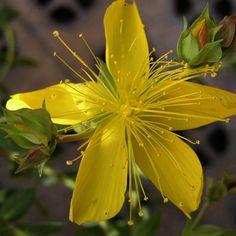 HYPERICUM olympicum  (Millepertuis) : Robuste et rustique, accepte bien les sols secs. Touffes arrondies, compactes. Feuillage vert sombre persistant glauque. Fleurs jaune d'or. Massif, rocaille.