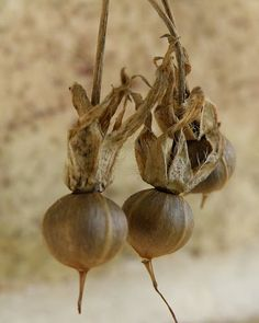 Morning Glory Seed Pods... so easy to collect at the end of the growing season.