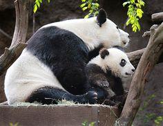 Panda cub Xiao Liwu and his mom (Bai Yun) at the San Diego Zoo.