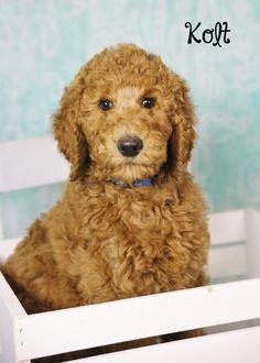 Kolt 10 week old standard poodle puppy red sugarnspicestandards.com