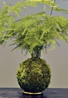 Kokedama schwebende pflanzen japanische pflanzen und - Japanische zimmerpflanzen ...