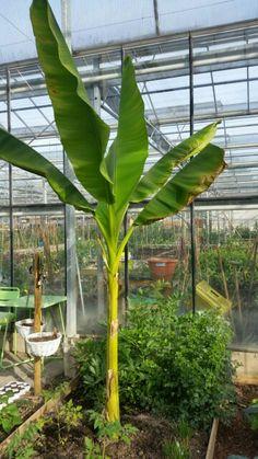 Bananenboom voor het 2e jaar in de kas