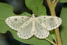Geometrid Moth (Naxa sp., Orthostixinae, Geometridae) | Flickr - Photo Sharing!