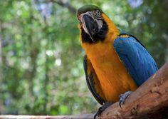 Ara gialla e blu - Blue-and-yellow Macaw -  Ara ararauna