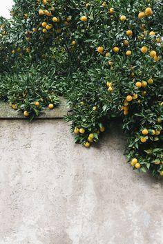Italy_Rome by Nicole Franzen --- noch 67 nachtsjes wachte en we bin ek wer yn Roma! Mediterranean Garden Design, Clematis Armandii, Baumgarten, Belle Plante, Garden Trees, Fruit Trees, Citrus Trees, Orange Trees, Fruit Bushes