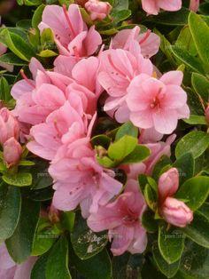 Azalea 'Peach Kirin'