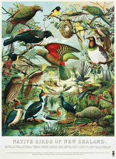 Vintage botanical illustrations of native New Zealand birds. Made in UK Printed with vintage botanical illustrations of native New Zealand birds, this 100 % cotton tea towel will remind you of the Oceania exhibition every New Zealand Art, Nz Art, Bird Poster, Maori Art, Kiwiana, Texture Art, Bird Prints, Nova Scotia, Bird Art