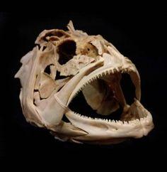 Yellow Fin Grouper Skull