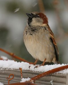 I often wonder how these little sparrows can manage to live through our harsh winters--hardy wee birds