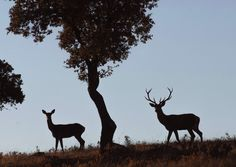 La falta de lluvias ha afectado al ciclo natural en los parques naturales, por lo que la berrea, periodo de celo del ciervo, ha finalizado con un ciclo más corto.