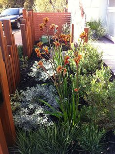 - Lochiel Park Lochiel Park – behind the fence. Can anyone identify the silver leafed shrubs and the taller green shrubs behind the kangaroo paws? Australian Garden Design, Australian Native Garden, Australian Plants, Australian Bush, Bush Garden, Garden Shrubs, Garden Soil, Front Yard Design, Modern Front Yard