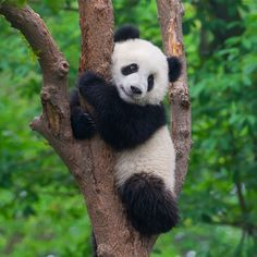 21 Reasons Pandas Are The Absolute Best - Tiere - Animals Cute Panda Baby, Baby Animals Super Cute, Baby Panda Bears, Panda Love, Cute Little Animals, Cute Funny Animals, Panda Tatoo, Photo Panda, Panda Mignon