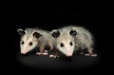 Nice portrait of Juvenile Opossums.