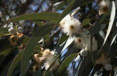 El eucalipto es adecuado para los resfriados del otoño...#farmacia #farmaciasarafibla #sientetebien  #eucalipto