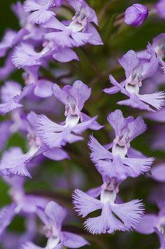 Platanthera praeclara - franjada roxa