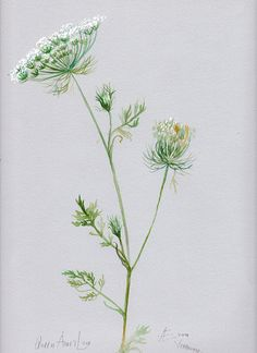 Queen Anne's Lace original illustration by VerbruggeWatercolor