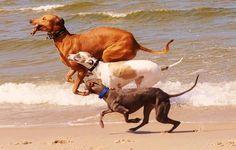 Greyhound, whippet, Italian greyhound