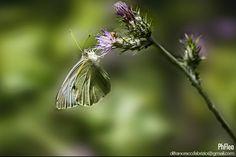 Farfalla by Fabrizio Di Francesco on 500px