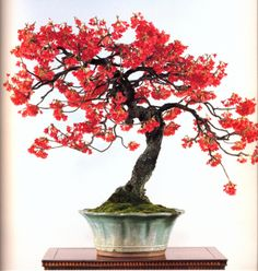 japanese cherry,BONSAI I should do a watercolor painting of this