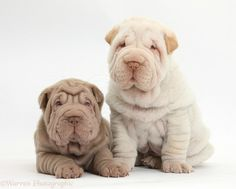 The shar pei, or chinese shar-pei, is a breed of dog known for its distinctive features of deep wrinkles and a blue-black tongue. Description from dogbreedspicture.net. I searched for this on bing.com/images