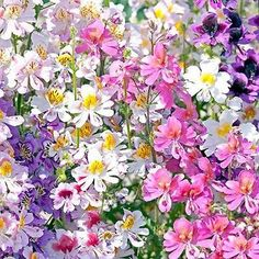 200+ Butterfly Flower Angel Wings Seeds - Under The Sun Seeds  - 1