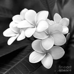 Black and White Art Photography | ... Black And White Photograph - Plumeria…
