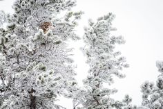 A mountain lion or puma is nestled in the wintery limbs of trees. Stealthy Eyes by Melissa Stevens