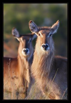 Africa | Waterbuck photographed in South Africa. | ©Roberto M. Betta