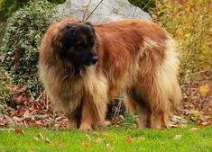"""5 Hottest Facts About Giant Leonberger Dog """"The New Lion"""""""