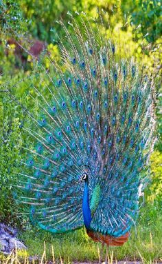 Birds - Peacock – samlingar – Google+