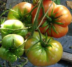 Tomaquets Montserrat -