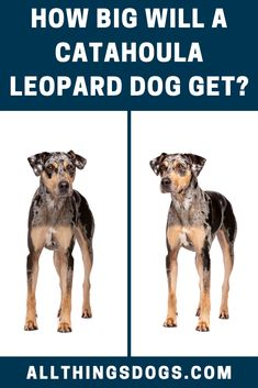 Catahoula Leopard Dog size can be classified as medium-sized dogs. They typically range between 50 and 95 pounds and are 22 to 24 inches tall; the Catahoula Leopard Dog is not a giant breed. Read on for more details.  #catahoulaleoparddog #catahoulaleoparddogsize #catahouladog Leopard Dog, Giant Dogs, Medium Sized Dogs, Hunting Dogs, Dog Breeds, Range, Earth, Medium Dogs, Species Of Dogs