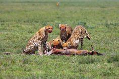 Foto van de dag: Cheeta. Bekijk hier meer foto's van National Geographic: http://natgeotv.com/nl/photo-of-the-day