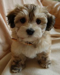 Bichon Havanese probably one of the cutest things I've ever seen. Yup. (besides my own!!)