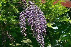 Plante urcatoare Wisteria floribunda Violacea Plena (glicina) ghiveci 3-5 litri, h=100-120 cm. Poza 8914